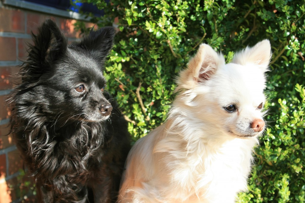 Chihuahuas Cora und Dusty